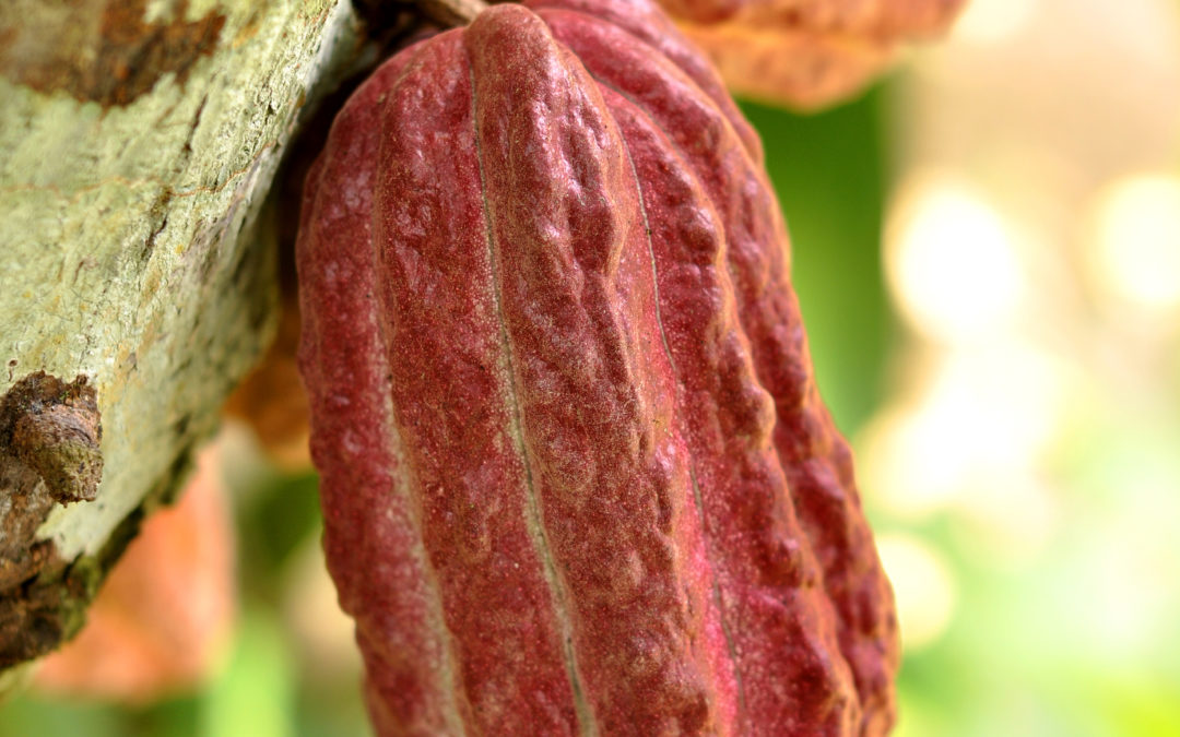 Kakao: Gudenes drikk